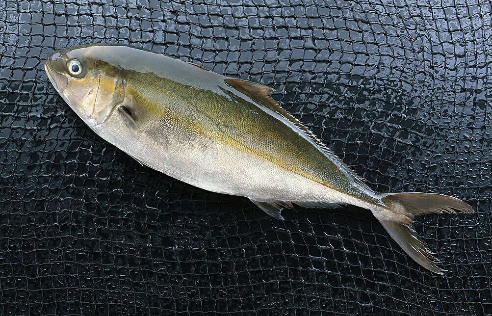 天津冷冻巴沙鱼进口是否需要在华注册