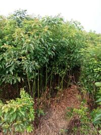 香樟生产基地|香樟苗圃|香樟批发|香樟供应